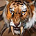 Луанский тигр